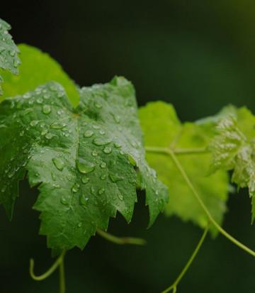 Vins BioRiesling Fourmidable AB