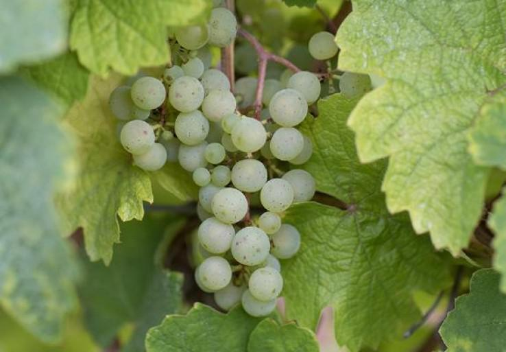grappe-riesling