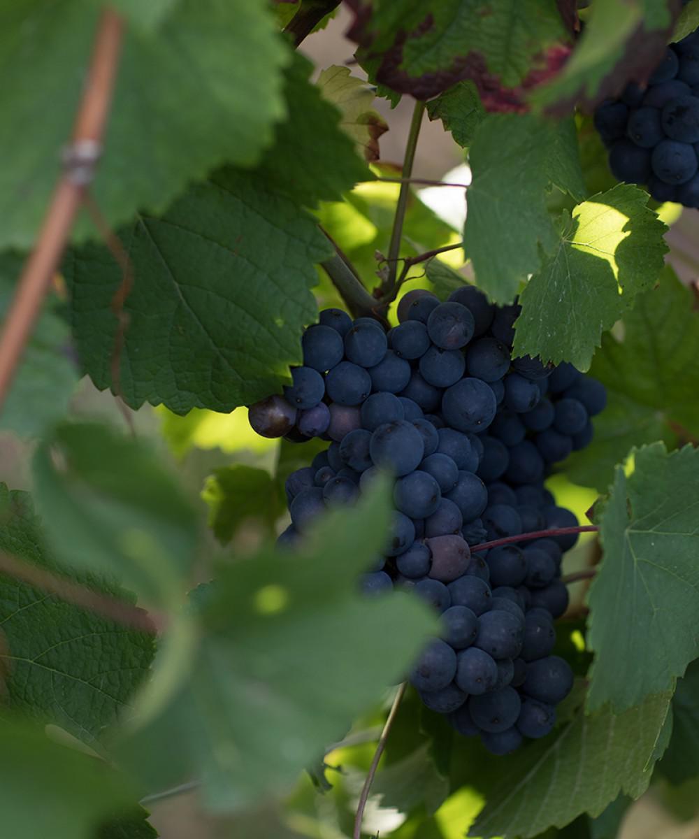 Pinot-noir-grappe