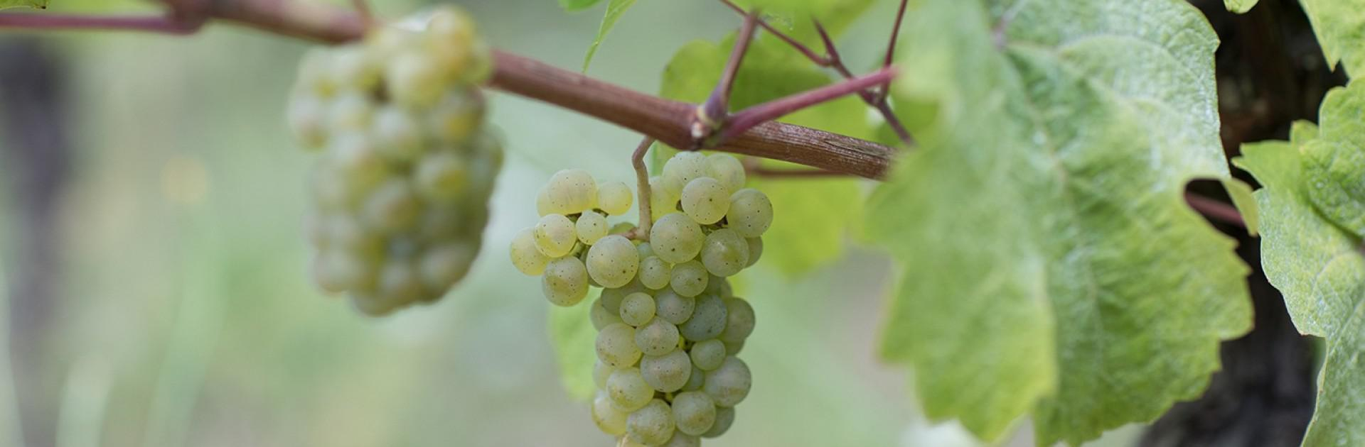 grappe-vigne-riesling