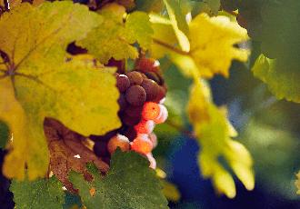 Gewurztraminer-grappe